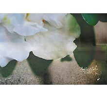 White Azalea Photographic Print