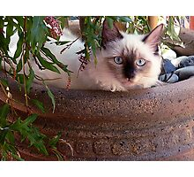Molly, ragdoll kitten, under her favorite tree. Photographic Print