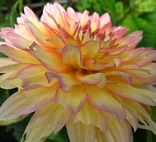 Lovely Dahlias by MarianBendeth
