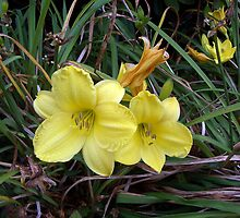 Evening Primrose by ravensky
