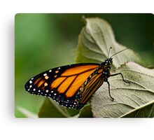 Brand-new monarch Canvas Print