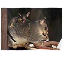 So Cute !! Brushtail Possum & Joey Poster