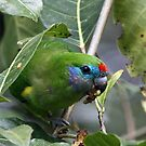 Fig Parrot by triciaoshea