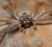 Brown Huntsman - Heteropoda sp. by Andrew Trevor-Jones