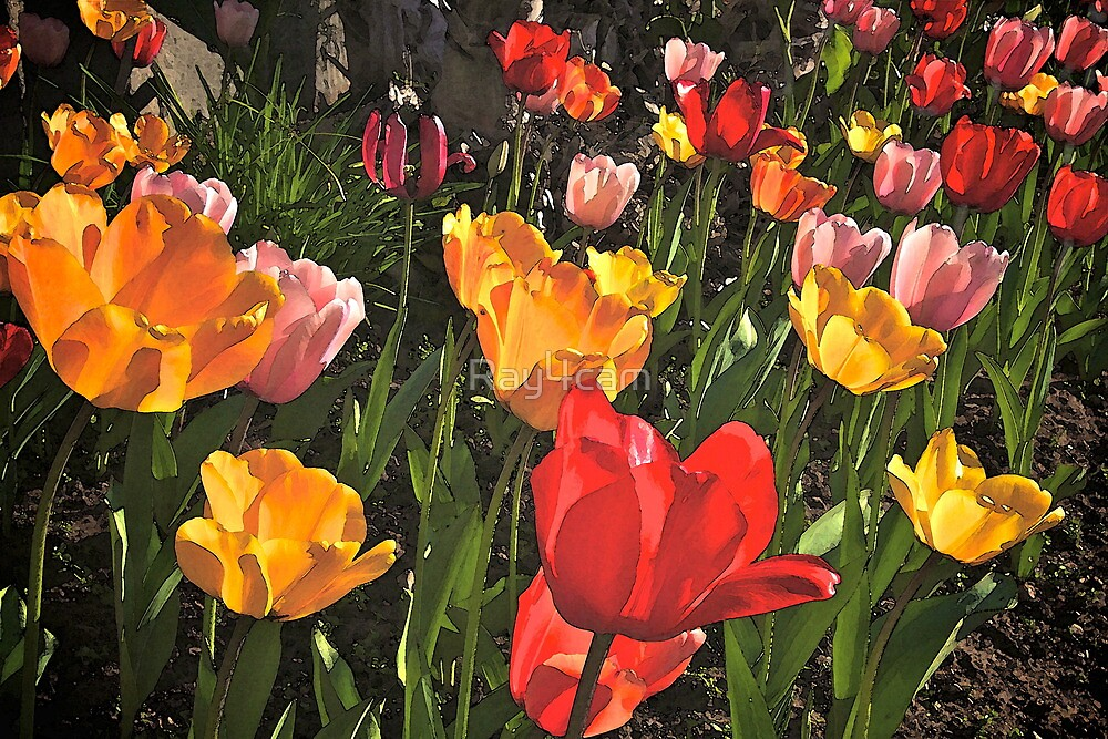 Tulips by Ray4cam