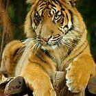 regal tiger by bluetaipan