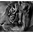 b/w tiger portrait by bluetaipan