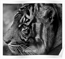 b/w tiger portrait Poster