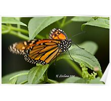 monarch butterfly 3 Poster
