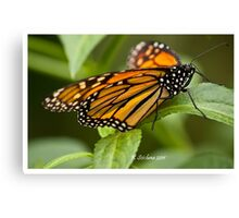 monarch butterfly 4 Canvas Print