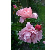 Strawberry Hill Roses 2 Photographic Print