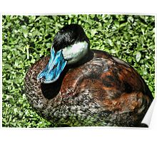Blue Bill Duck Poster