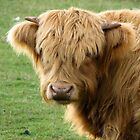 Highland Cow by Melissa Gray