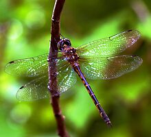 Dragonfly #2 by Elisabeth Dubois