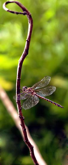 Dragonfly #3 by Elisabeth Dubois