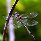 Dragonfly #4 by Elisabeth Dubois