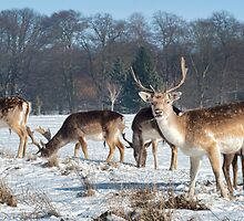 Stags feeding by Peter Towle