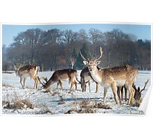 Stags feeding Poster