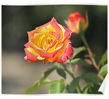 Rose HDR Poster