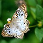 Peacock Butterfly by KeithRandall