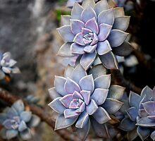 Desert Rose by KeithRandall