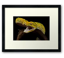 Green tree python striking Framed Print