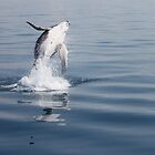 Breaching Humpback Whale Calf by afincher