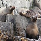 Fur Seal Pod by afincher