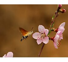 pink and hawkmoth Photographic Print
