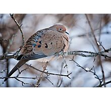 Mouring Dove In Shrubs Photographic Print