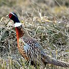Pheasant Under Grass by LavenderMoon