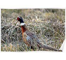 Pheasant Under Grass Poster