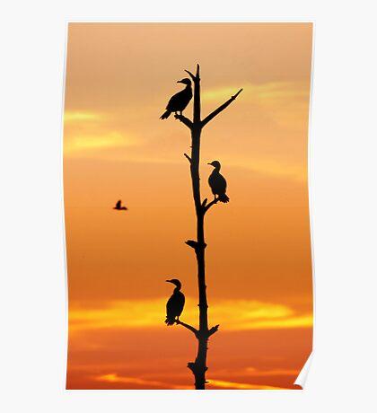 Cormorants Sunset Poster