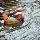 Mandarin duck by anchorsofhope