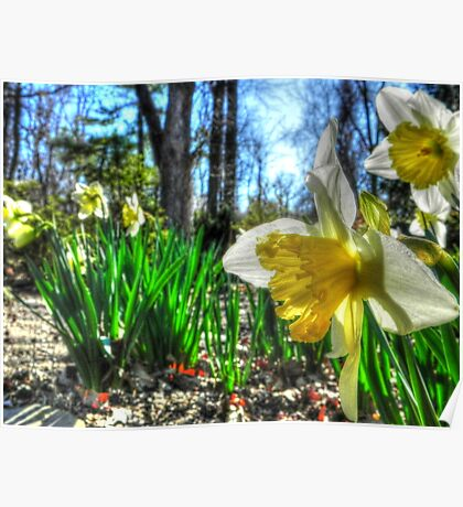 Daffodils Defy the Calendar  Poster