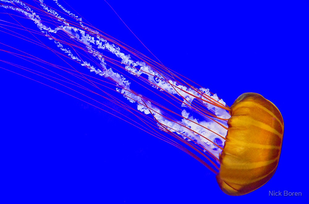 Pacific Sea Nettle by Nick Boren