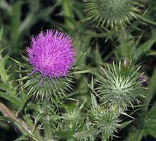 Scotch Thistle by Steven Cousley