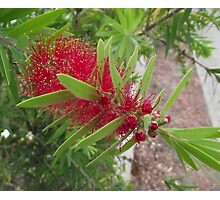 Bottlebrush Flower Photographic Print