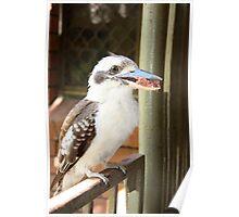 Kookaburra Eating. Poster