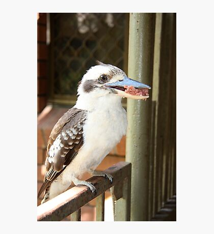 Kookaburra Eating. Photographic Print
