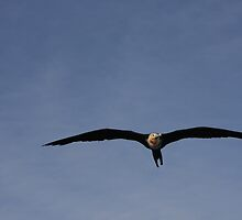 Great frigate bird (Fregata minor) by Peregrinate