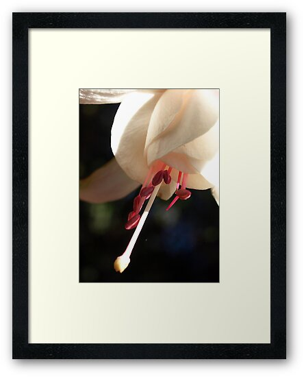 Fuchsia stamens of pink by Bev Pascoe