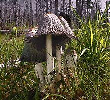 Shaggy Mane ~ Copronus comatus ~ by Charles & Patricia   Harkins ~ Picture Oregon