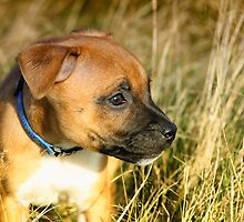 Staffordshire Bull-Terrier Puppy  by ImageMonkey