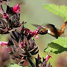 Allen's Hummer Feeding Up Close by DARRIN ALDRIDGE