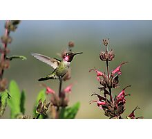 Ruby Throated Hummer Frozen With Style Photographic Print