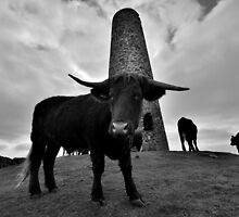 Cornwall: Cows at Stepper Point by Rob Parsons