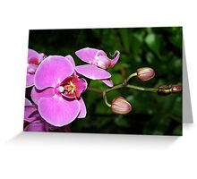 Pink Orchids & Buds (phalaenopsis) Greeting Card