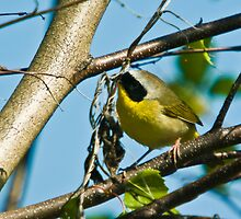 Common Yellowthroat Warbler  by Richard Labelle