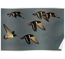 Oystercatchers in flight Poster